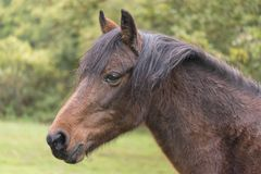 A New Forest pony Royalty Free Stock Image