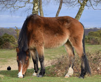 New Forest Pony, Hampshire, UK. A new forest pony grazing with a crow watching it Royalty Free Stock Photo