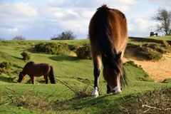 New Forest Pony, Hampshire, UK. A new forest pony grazing in the foreground with its mane blowing in the wind, another in the background Stock Photos