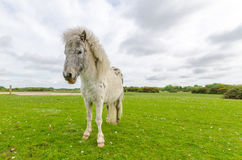 New Forest Pony. A horse/pony grazing in the New Forest National Park Royalty Free Stock Images
