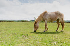 New Forest Pony. A horse/pony grazing in the New Forest National Park Stock Images