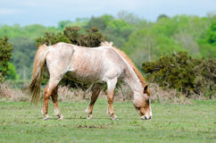 New Forest Pony. A horse/pony grazing in the New Forest National Park Stock Photo