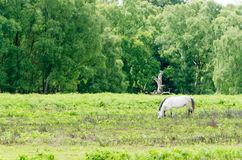 New Forest Pony. A horse/pony grazing in the New Forest National Park Stock Photos