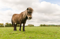 New Forest Pony. A horse/pony grazing in the New Forest National Park Royalty Free Stock Photo