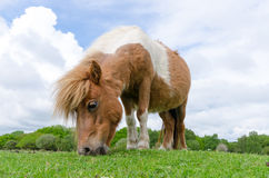 New Forest Pony. A horse/pony grazing in the New Forest National Park Stock Photography