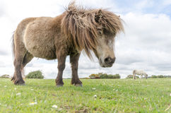 New Forest Pony. A horse/pony grazing in the New Forest National Park Royalty Free Stock Photography
