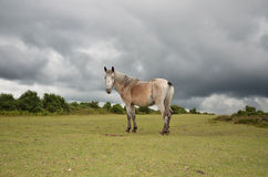 New-Forest-Pony im New Forest. Wild horse in New Forest Nationalpark in Hampshire, Great Britan Stock Image