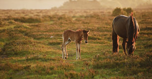 New Forest pony mare and foal bathed in sunrise Royalty Free Stock Photography