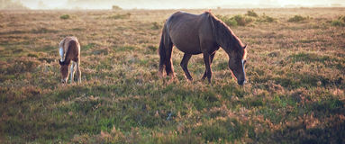 New Forest pony mare and foal in landsca Stock Photos