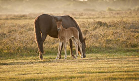 New Forest pony mare and foal at sunrise Royalty Free Stock Images