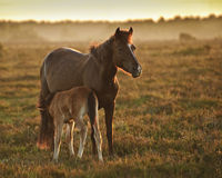 New Forest pony mare and foal in sunrise light Stock Photography
