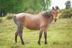 New forest pony Royalty Free Stock Photography