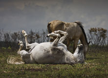 New Forest Pony Rolling on its Back. Stock Photo