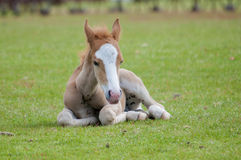New Forest Pony sitting Stock Photography