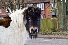 New Forest pony in winter coat Stock Photos