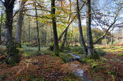 New Forest Stream. A brook winds its way through ancient woodland at Bolderwood in the New Forest National Park Stock Images