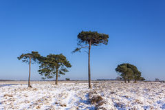 New Forest Trees in Snow Royalty Free Stock Photography