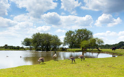 New Forest wildlife by a lake on a sunny summer day in Hampshire England UK geese and cows Stock Photos