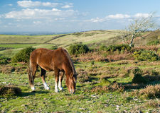 New forrest pony. New Forest pony grazing in the evening sun under blue sky royalty free stock photo