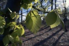 New fresh beech leaves Stock Image