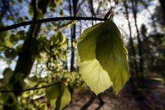 New fresh beech leaves Stock Photo