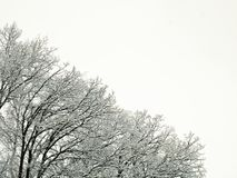 New fresh snow on branches of trees in winter scene. In Bemidji Minnesota Stock Images