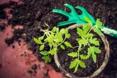 New fresh tomato seedlings. Symbol of spring Stock Photos