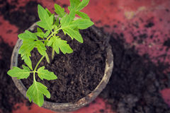 New fresh tomato seedlings. Symbol of spring and clean eating concept. Stock Photo