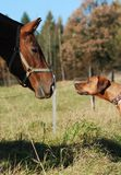 New friends?. Love at first sight between curious horse and rhodesian ridgeback Stock Photography