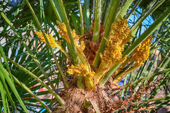 New fruit bunches on phoenix palm Royalty Free Stock Photos