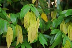 New germinate leaves pattern. Plant in annonaceae family royalty free stock photography