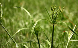 New Grain Formation. In weeds on a paddy field Royalty Free Stock Images