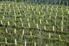 New Grape Vine Plantations Stock Photo