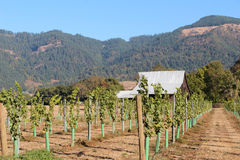 New Grape Vines. With protection around the root Royalty Free Stock Images
