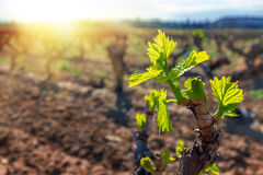 New grapevines sprouts growing in vineyard. Stock Photography