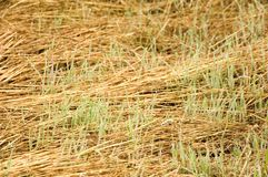 New grass. Fresh grass gowing out of old abandonned cut grass. With space for copy royalty free stock photo