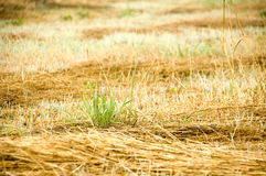 New grass. Fresh grass gowing out of old abandoned cut grass. With space for copy royalty free stock image
