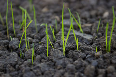 New grass growing from grass seed 2. New grass growing from grass seed in a park royalty free stock photos