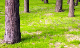 New grass and trunk. Several sequoia trunks stand in the new green growing grass Royalty Free Stock Photos