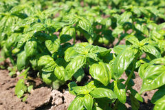 New green bio basil plant field Stock Photography