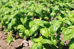 New green bio basil plant field Stock Photography