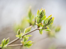 New green buds Stock Images