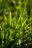 New green grass. Close up in sunny summer day Royalty Free Stock Photos