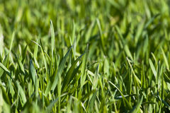 New green grass. Meadow background, shallow depth of field Royalty Free Stock Images