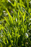 New green grass. Meadow background Royalty Free Stock Photos