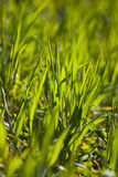 New green grass. Meadow background. Shallow depth of field Royalty Free Stock Photos