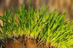 New Green Grass growing. New Green grass (Winter rye) growing from brown soil Royalty Free Stock Image