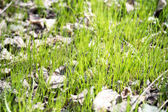 New green grass in Spring. Sun and leaves in the grass Royalty Free Stock Photo