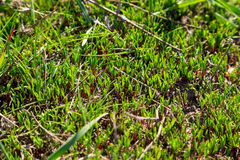New green grass sprouts. Natural outdoor background with selective focus Stock Photography