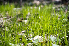 New green grass in the sunbeams. New green grass. Very beautiful grass in Spring Stock Image